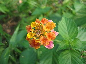 Multi-colored wild Lantanas (Lantana camaraflo...
