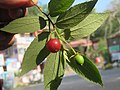 Muntingia calabura - Jamaica Cherry at Nedumpoil (1).jpg