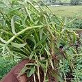 Murdannia Nudiflora 03.jpg