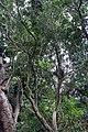 Murraya paniculata 5zz.jpg