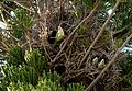 Myiopsitta monachus -nests-8.jpg