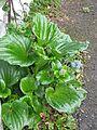 Myosotidium hortensia (8749109155).jpg
