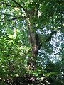 ND 611.074, Stieleiche, 1, Wolfsanger-Hasenhecke, Kassel.jpg