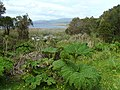 Nalca (Gunnera tinctoria) - Chiloé National Park - panoramio (2).jpg