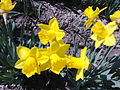 Narcissus pseudonarcissus - 1003.jpg