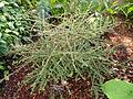 Nashia inaguensis - United States Botanic Garden - DSC09517.JPG