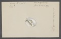 Natica mamilla - - Print - Iconographia Zoologica - Special Collections University of Amsterdam - UBAINV0274 082 14 0006.tif
