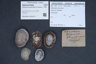 <i>Siphonaria pectinata</i> species of mollusc