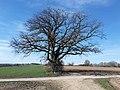Naturdenkmal Eiche, Fl.Nr. 234, Gemarkung Thalfingen, Gemeinde Elchingen.jpg