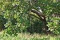 Nauclea orientalis 031208-3068.jpg
