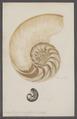 Nautilus pompilius - - Print - Iconographia Zoologica - Special Collections University of Amsterdam - UBAINV0274 091 03 0012.tif