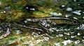 Nemacheilus fasciatus sepitih raman.jpg