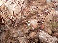 Nemacladus glanduliferus var orientalis 3.jpg