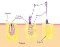 Nematocyst discharge.png