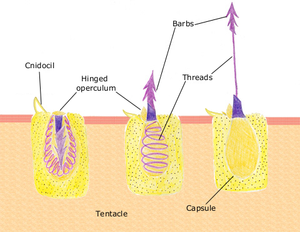 Cnidocyte - A diagram of the discharge mechanism of a nematocyst