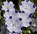 Nemophila maculata3.jpg
