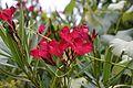 Nerium oleander 3 2017-05-14.jpg