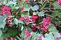 Nerium oleander 4 2017-07-20.jpg