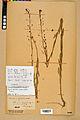 Neuchâtel Herbarium - Camelina microcarpa - NEU000022976.jpg