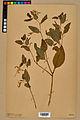 Neuchâtel Herbarium - Impatiens noli-tangere - NEU000019944.jpg