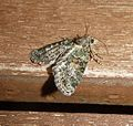 Noctuidae Bryophilinae. Cryphia ochsi - Flickr - gailhampshire.jpg