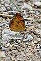 Northern Crescent (Phyciodes cocyta) - Guelph, Ontario 06.jpg