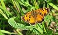 Northern Crescent (Phyciodes cocyta) Sand Lake Wetland Management District (16663885475).jpg