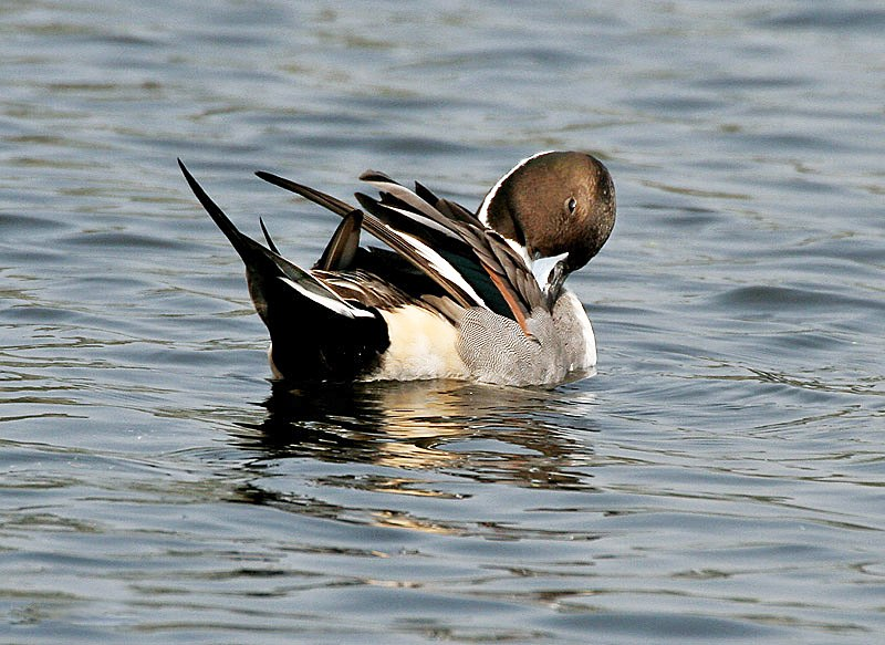 Northern Pintail (Male)- Preening I IMG 1119