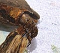 Northern case-maker, Pycnopsyche scabripennis (22816893681).jpg