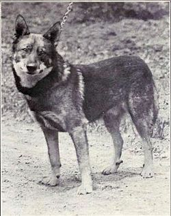 Norwegian Elkhound from 1915.JPG