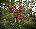 November Berries (5137447071).jpg