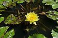 Nymphaea mexicana (14046017549).jpg