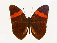 Nymphalidae - Adelpha lycorias lara.JPG