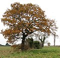 Oak tree beside the path - geograph.org.uk - 1060682.jpg