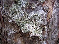 Un lichen du genre Ochrolechiadans les monts Zlatibor, en Serbie