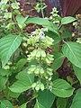 Ocimum basilicum (Lamiaceae) 02.jpg