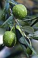 Olives(S.AGOSTINO)Cl J Weber03A (23148255515).jpg