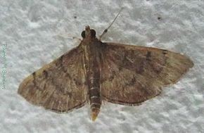 Description de l'image Omiodes indicata (Pyralidae)-21mm.jpg.
