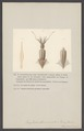 Onychoteuthis - Print - Iconographia Zoologica - Special Collections University of Amsterdam - UBAINV0274 005 09 0046.tif