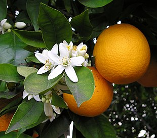 Appelsiner med blomster og blade.