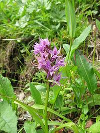 Orchis aristata 01.jpg