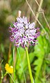 Orchis italica in Lozere (4).jpg