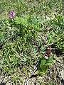 Orchis purpurea sl54.jpg