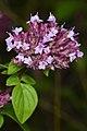 Oregano (Origanum vulgare) - Guelph, Ontario.jpg