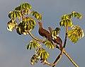 Ortalis canicollis -Bonito, Mato Grosso do Sul, Brazil -two-8 (1).jpg