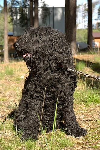 Barbet dog - Typical example