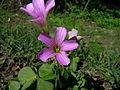 Oxalis debilis flower4 (14543011769).jpg