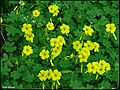 Oxalis pes-caprae (wild).jpg