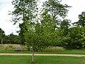 P1000548 Cratageus mollis (Downy Hawthorn) (Rosaceae) Plant.JPG