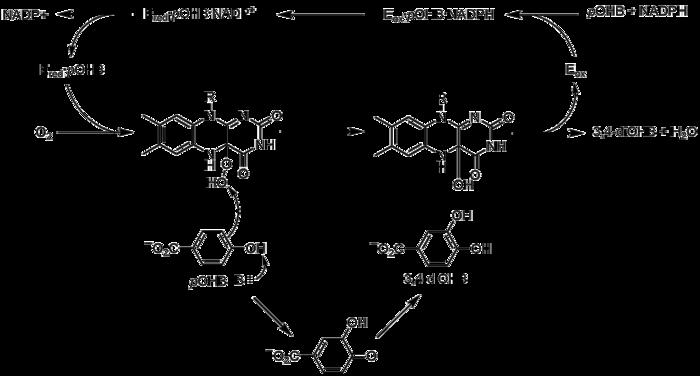 Flavin adenine dinucleotide - Wikipedia